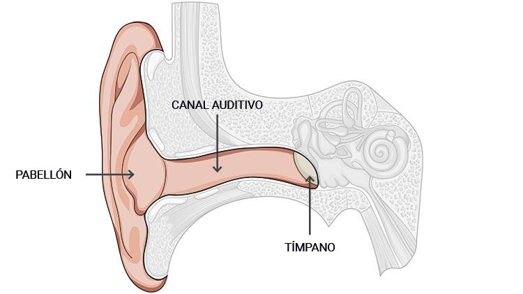 Partes Del Oído Funcionamiento Del Oído Humano